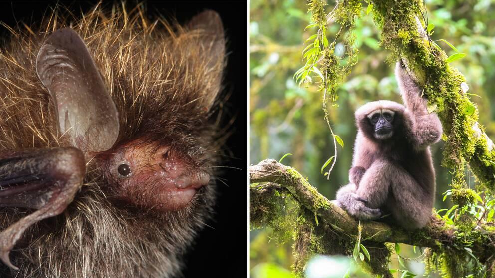 En blondaktig fladdermus i närbild och en apa, sittandes i ett mossigt träd.