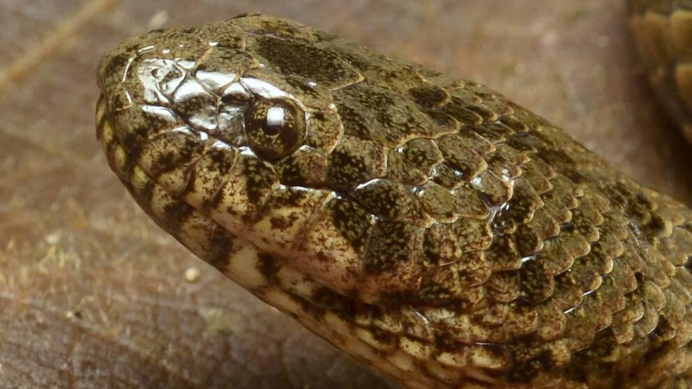 Närbild på en orm.