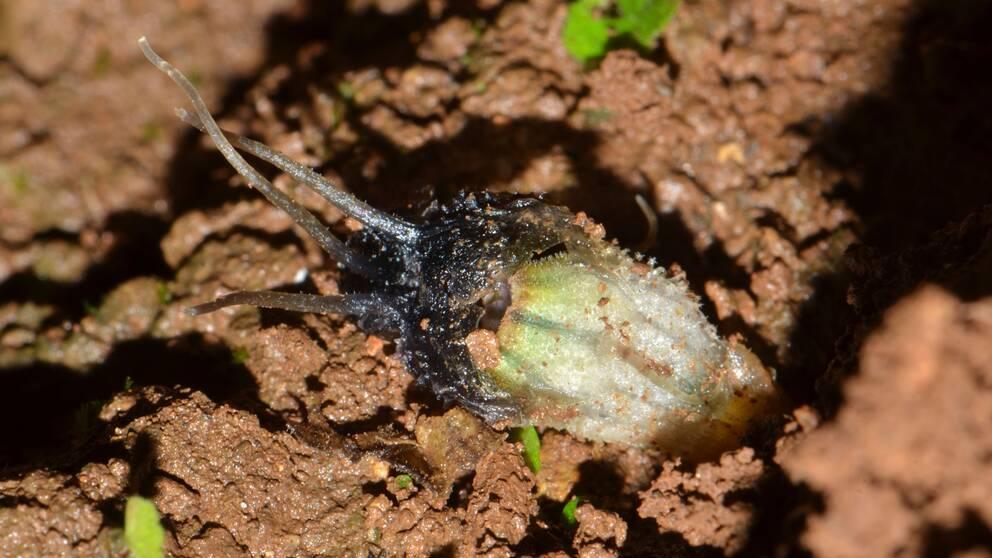 En liten växt som bryter igenom gyttjan på väg upp.