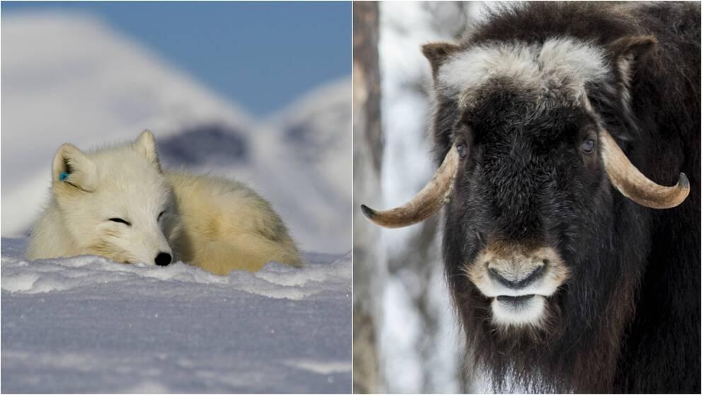 kollage med bild av en sovande fjällräv i snön samt närbild på en myskoxe.