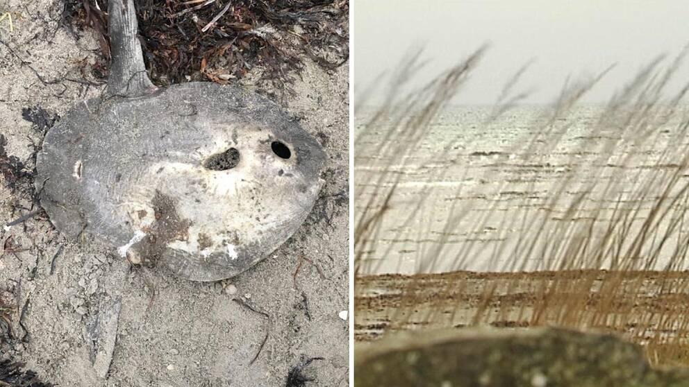 Klumpfisken som Bibbi hittade på stranden i Apelviken.
