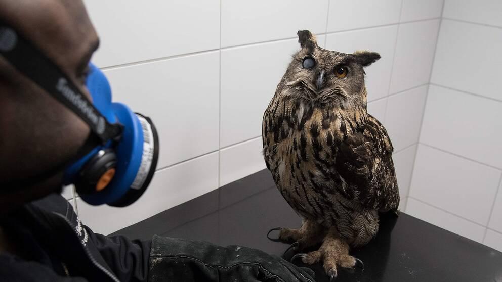 Victor Persson driver den ideella föreningen Stockholms vildfågel rehab där han behandlar berguvens öga.