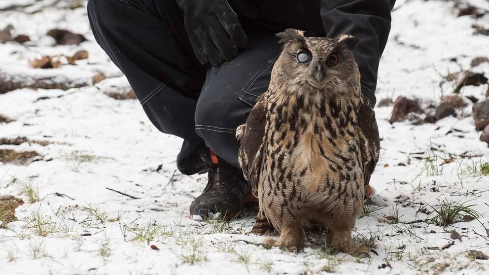 Den ögonskadade berguven togs om hand av Stockholms vildfågel rehab och har släppts i naturen.