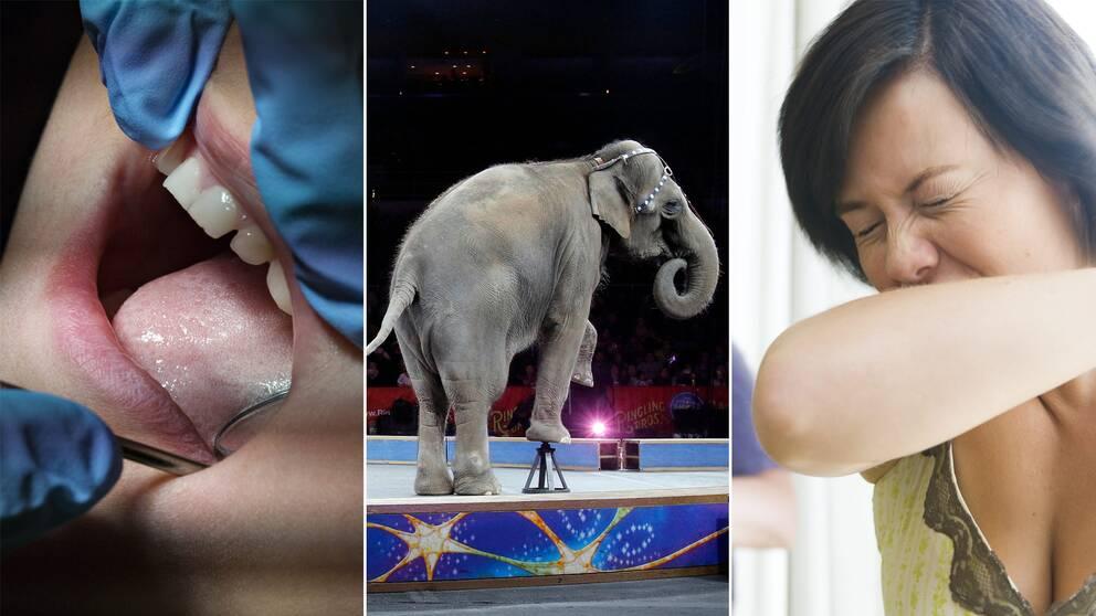 Tandvård, elefant och nysning