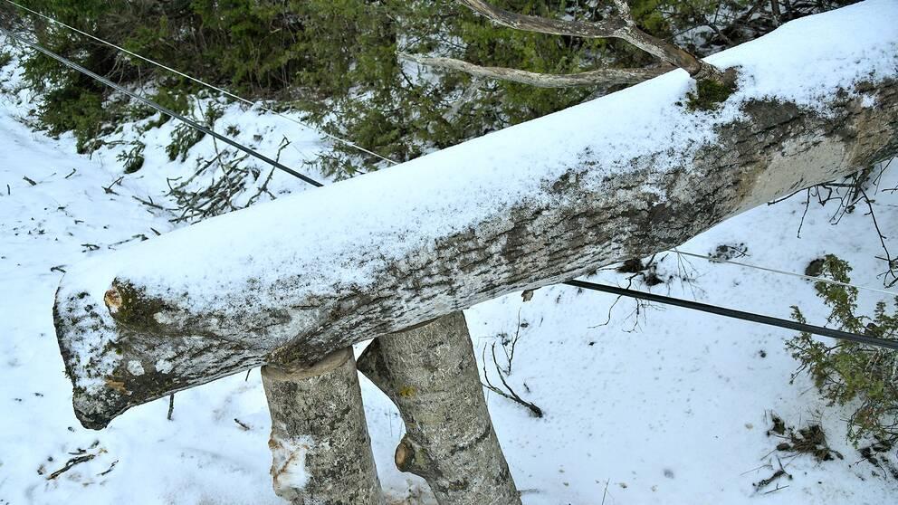 Träd som fallit över elledningar i Riala efter stormen Alfrida.