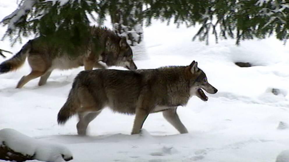 Två vargar i snölandskap
