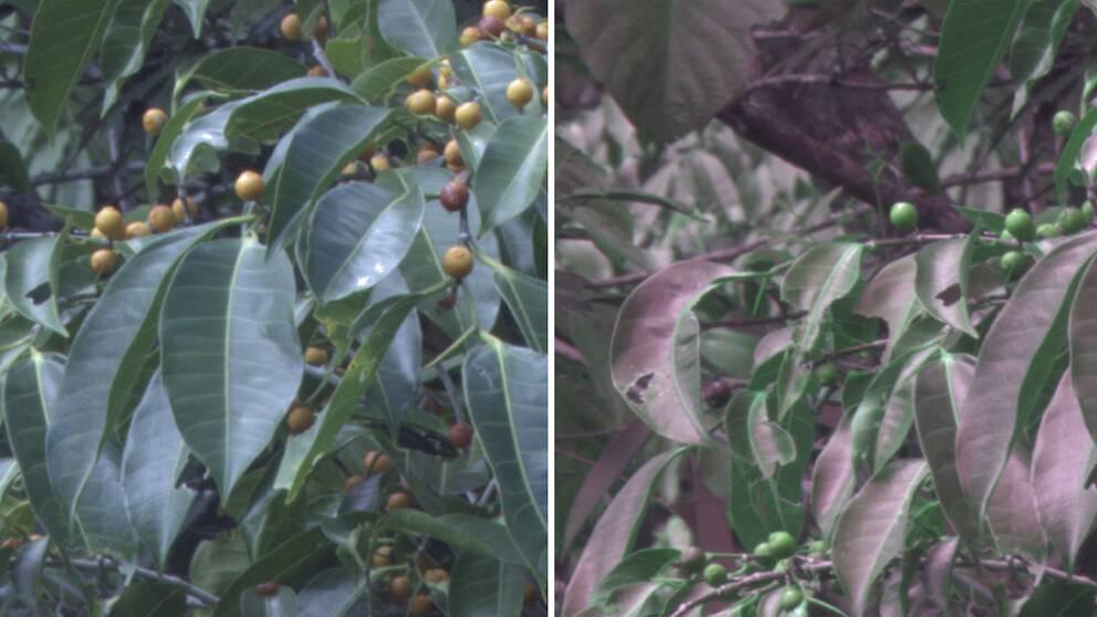 Till vänster ett lövverk såsom vi människor normalt ser det. Till höger samma lövverk fotograferat med en specialkamera som i efterliknar färgseendet hos fåglar.