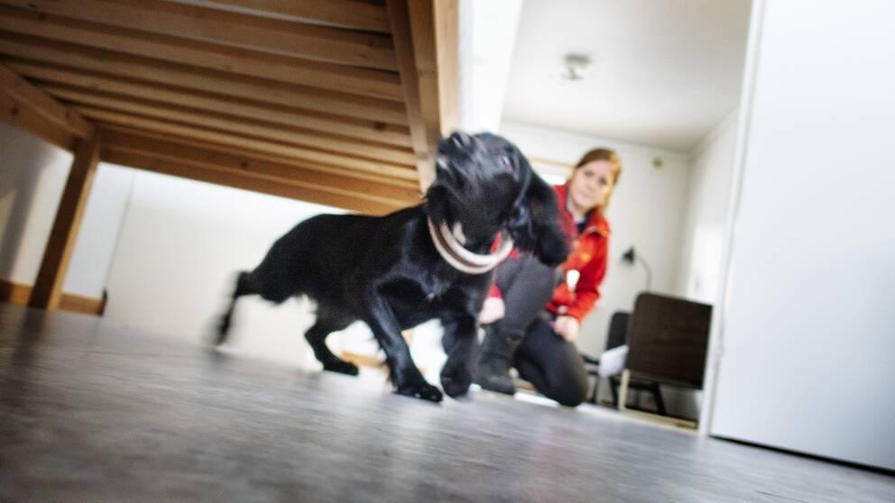 Hunden Lexi söker vägglöss i ett sovrum under överinseende av hundföraren Matilda Lycktman.