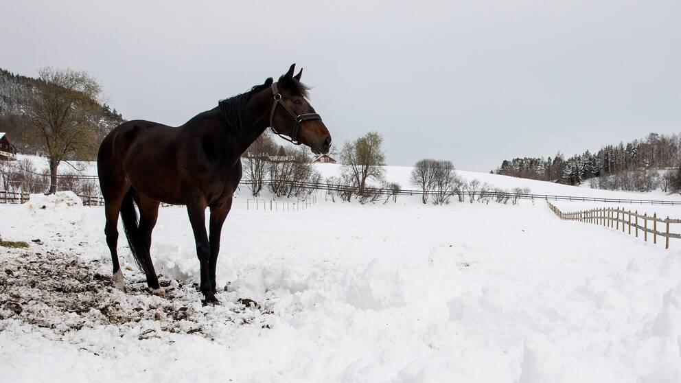 Häst i en hage