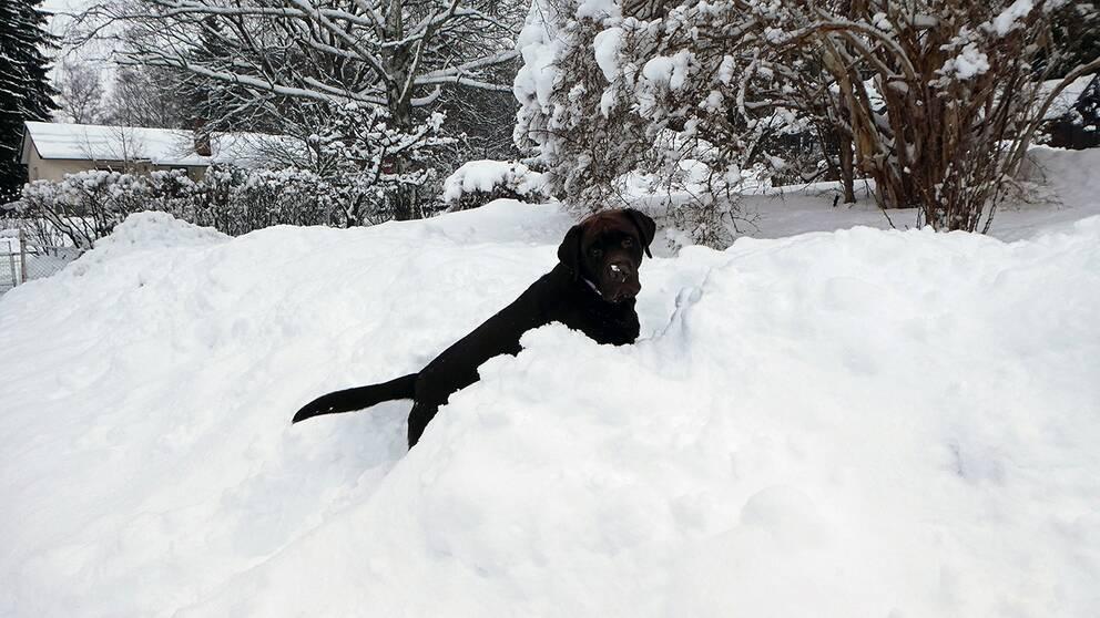 Vallentuna 190205 med såå mycket snö vi fått senaste dagarna – labradoren Wille gläds!
