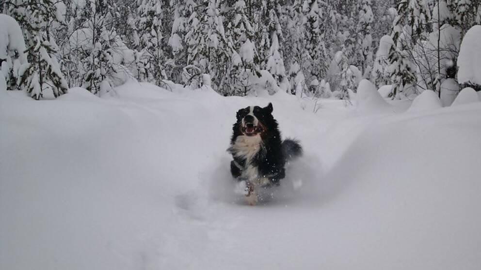 Februari 2015, men det är ungefär samma snömängd nu.Full fart i snön. Hunden är av rasen Berner Sennen.Bodträskfors, Norrbotten.