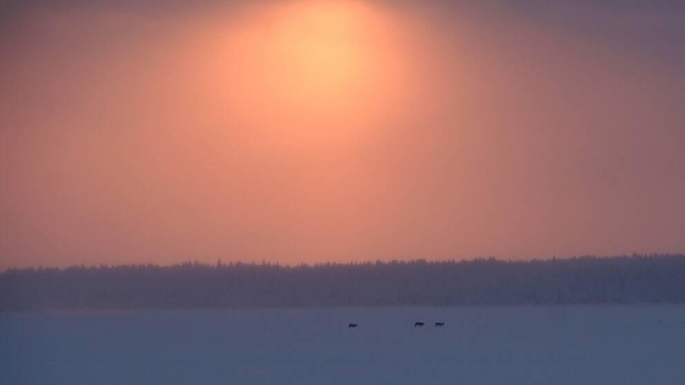 Solen var låg i den kall disiga luften när det kom tre renar traskande över Torne älvens is. Solen orkade fram genom diset och gav ett rött sken samtidigt som jag såg renarna på isen. -28 grader i luften den 5 februari.