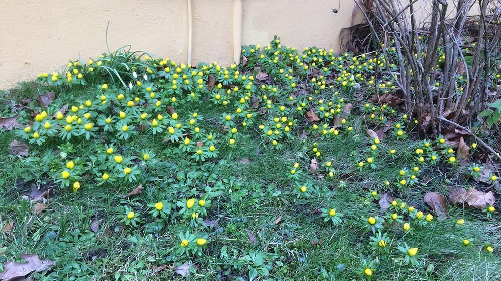 Vår trädgård i Fidenäs (solsudret) på Gotland där dom första vårblommorna kommit söndag 10 februari.