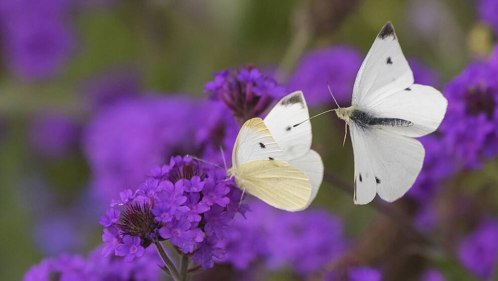 Fjärilar är bland de insekter som minskar mest i världen, enligt en ny forskningsrapport.