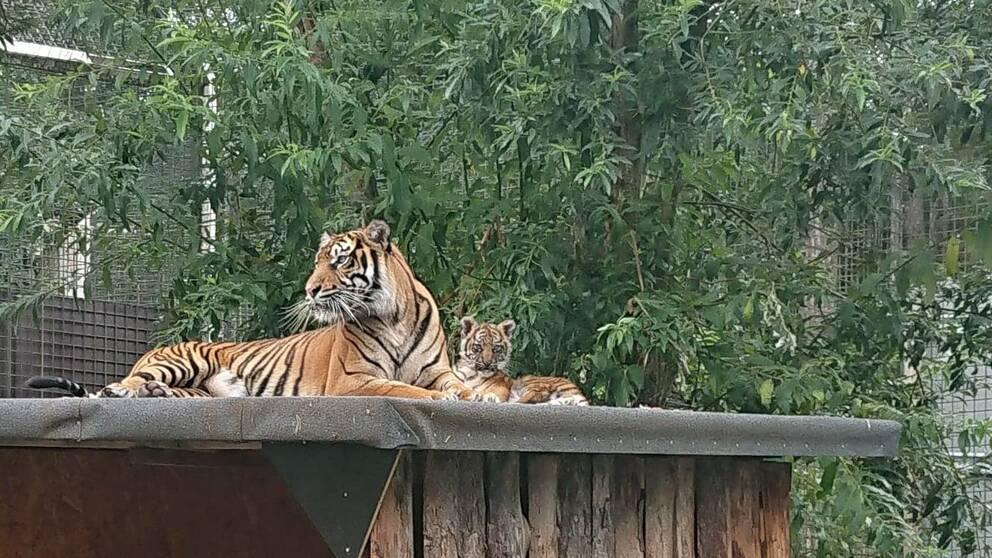 Sumatratigern Keisha har fått en unge för ett år sedan efter försök i tre djurparker att hitta en partner åt henne.