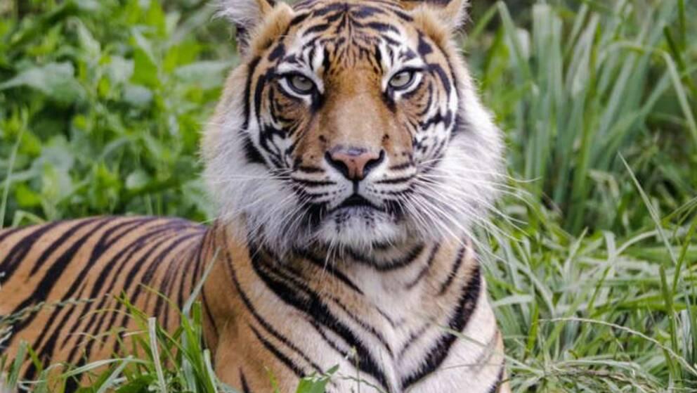 På hemsidan för London Zoo har man publicerat en bild till minne av den dödade tigerhonan Melati.