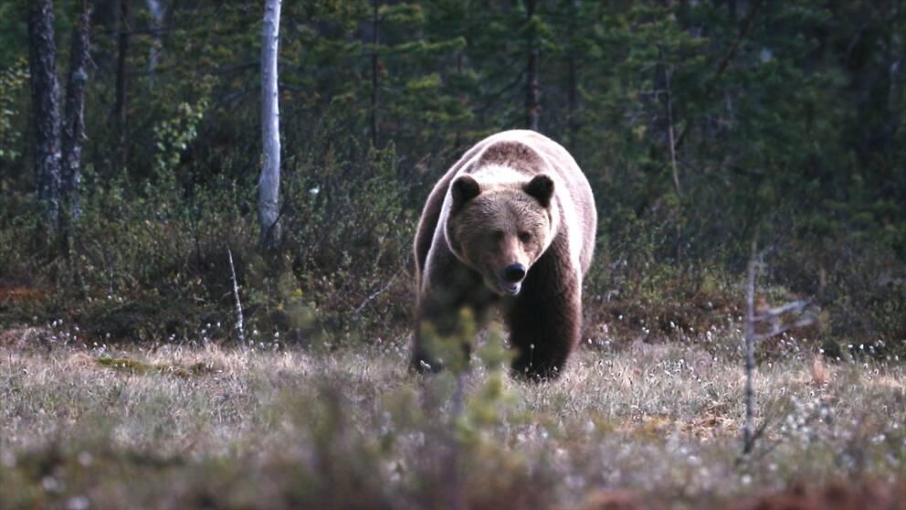 Brunbjörnen får inte problem med hjärta och kärl trots att den ligger i ett ide i månader i sträck.