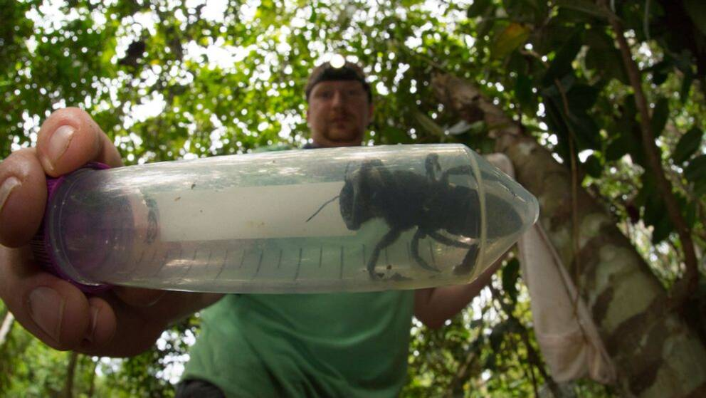 Biet, som räknas vara världens största, är närmare fyra centimeter långt och kan ha ett vingspann på mäktiga sex centimeter.