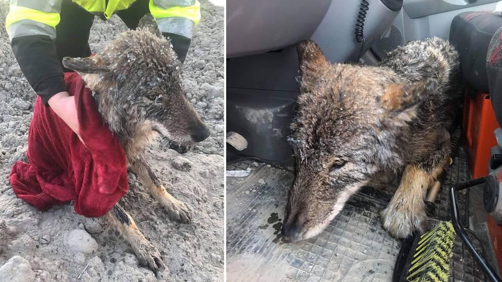 Här är de estniska byggarbetarnas egna bilder på det de trodde var en hjäteinsats för att rädda en hund.
