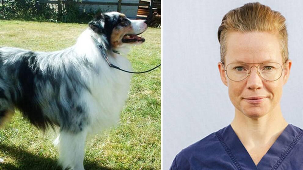 Till vänster en genrebild av en australisk shepherd, till höger Sara Molin, chefsveterinär på Alingsås djursjukhus.