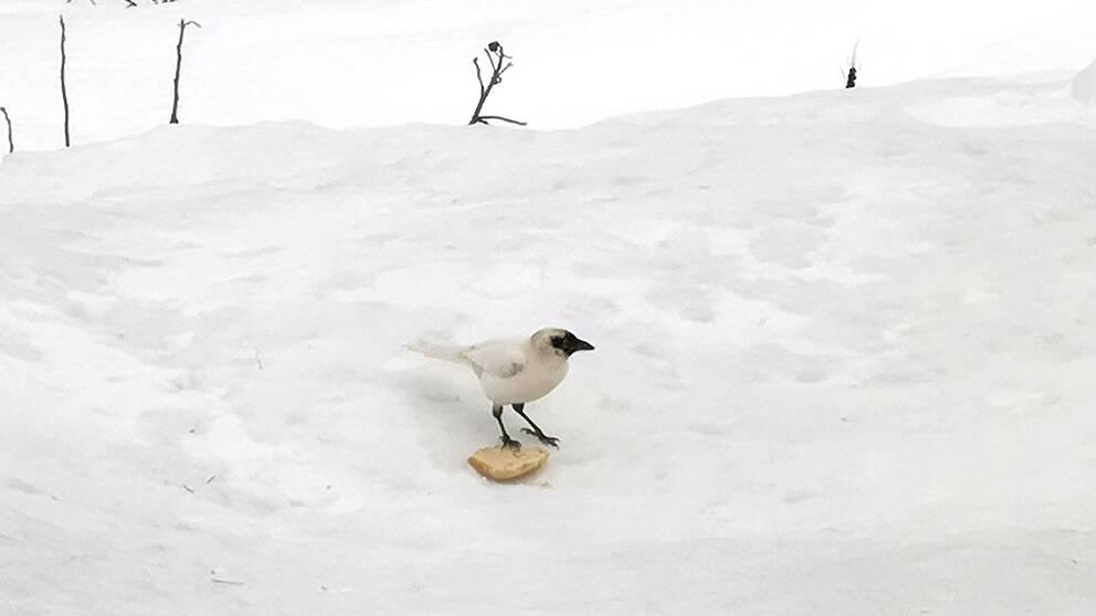 En vit skata som sitter i snön och har en bit mat framför sig. Skatan är svart på näbben och i ansiktet, har svarta ben men är vit på kroppen.
