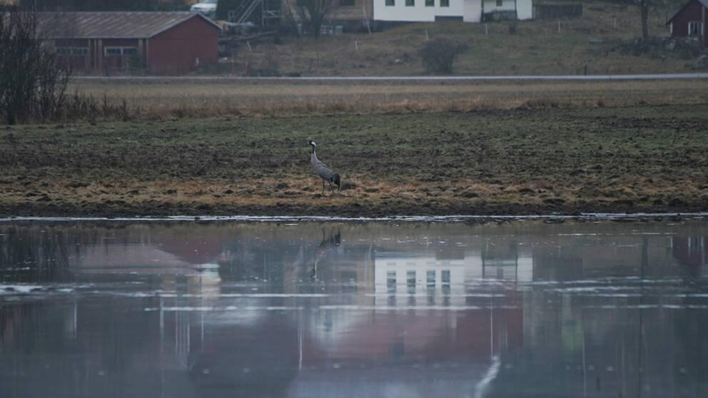 ranan har kommit till Adelsö i Mälaren 7/3.