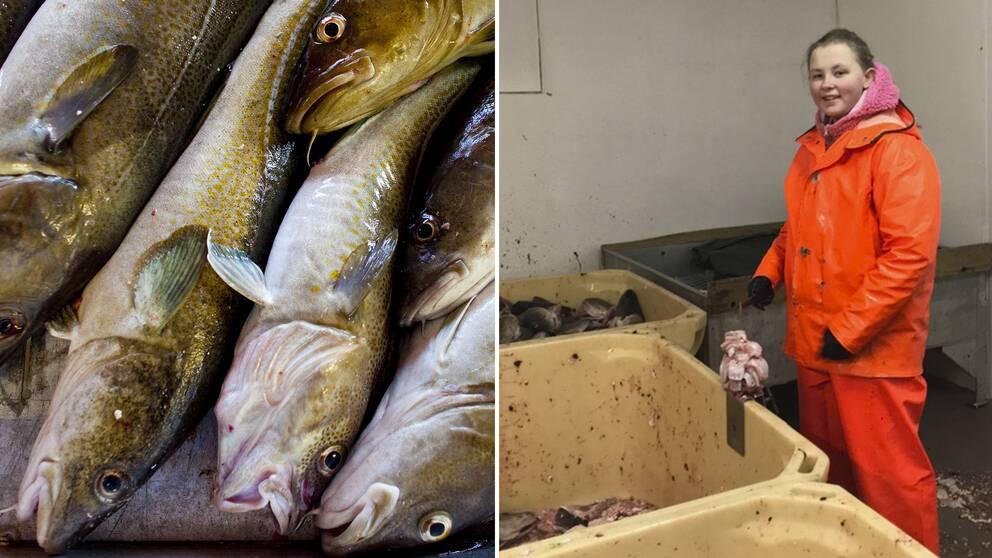 Frida Solem, 13 år gammal, iklädd en orange dräkt på sitt jobb i Henningsvaer, Lofoten där hon skär torsktungor.