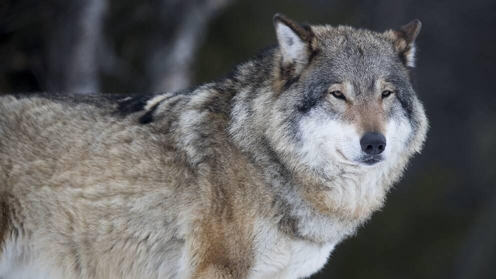 Länsstyrelsen i Värmland vill sänka miniminivån för antalet vargföryngringar i länet.