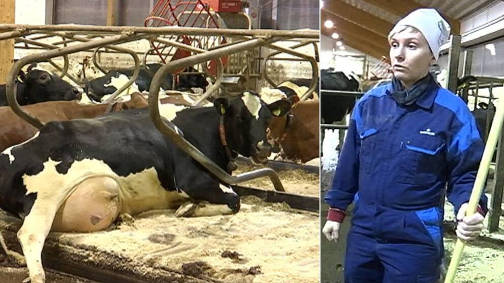 en ko som ligger ner och en bonde som står bredvid.