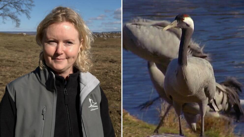 Ann-Marie Engh, turistvärd vid Trandansen och en av de tusentals tranor som just nu finns vid Hornborgasjön