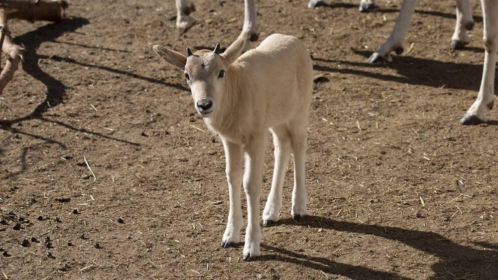 En av de addaxantilopkalvar som nyligen föddes på Kolmårdens djurpark.
