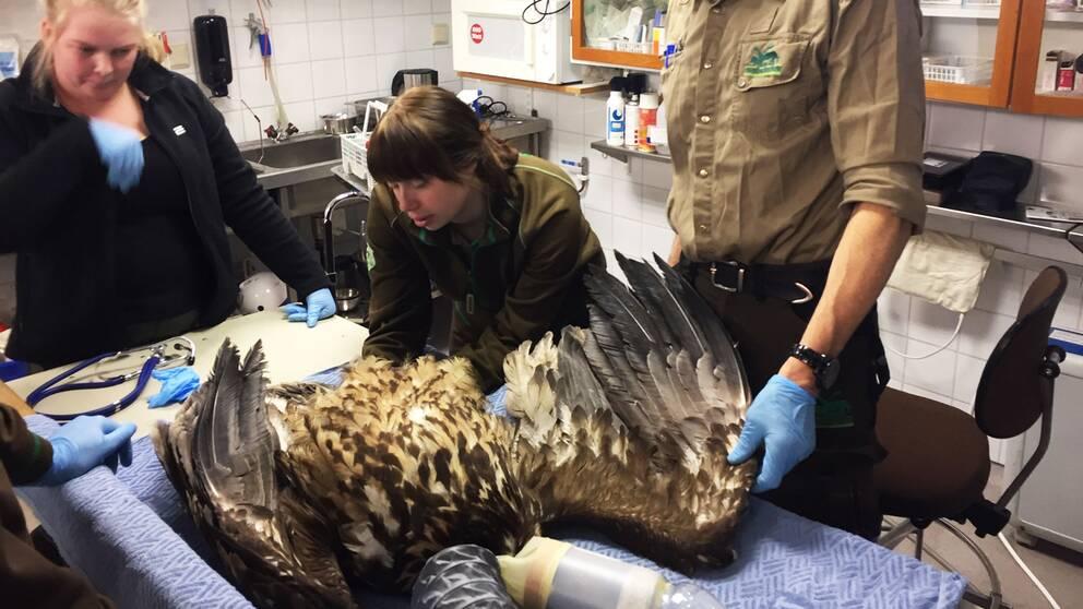 En havsörn undersöks av personal på rehabiliteringskliniken på Kolmårdens djurpark.
