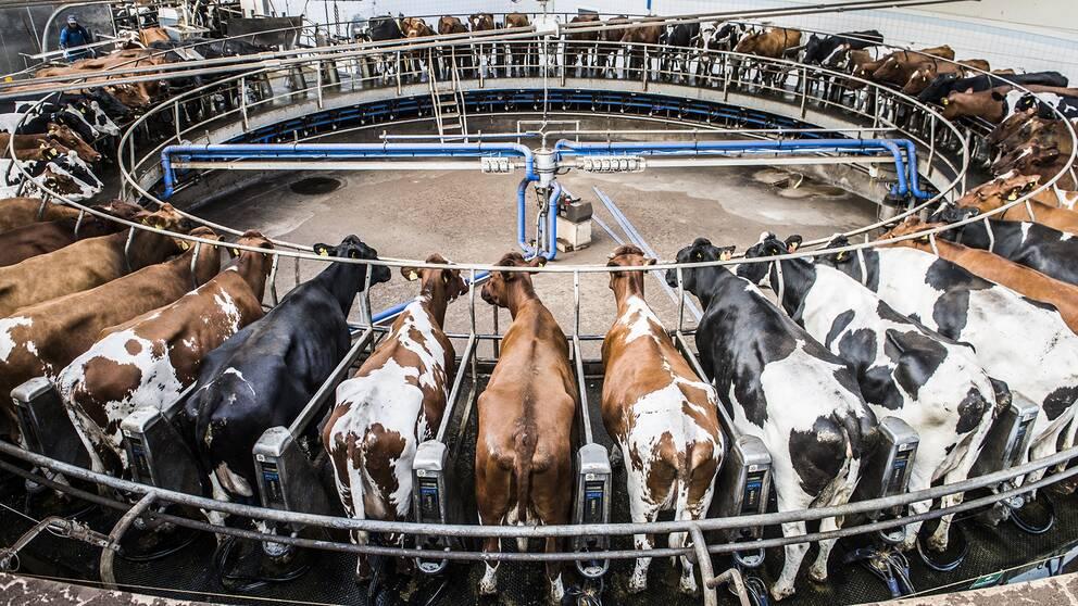 Kor i en mjökkarusell på Vadsbo Mjölk.