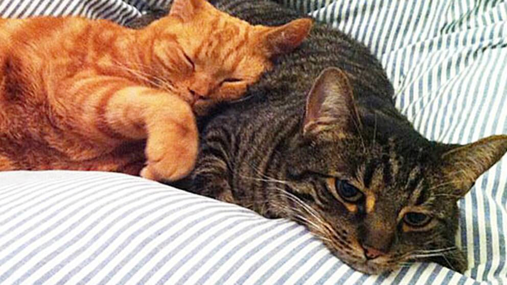 När katterna flyttat in i finrummet har också antalet kattägare som försäkrar sina katter ökat.