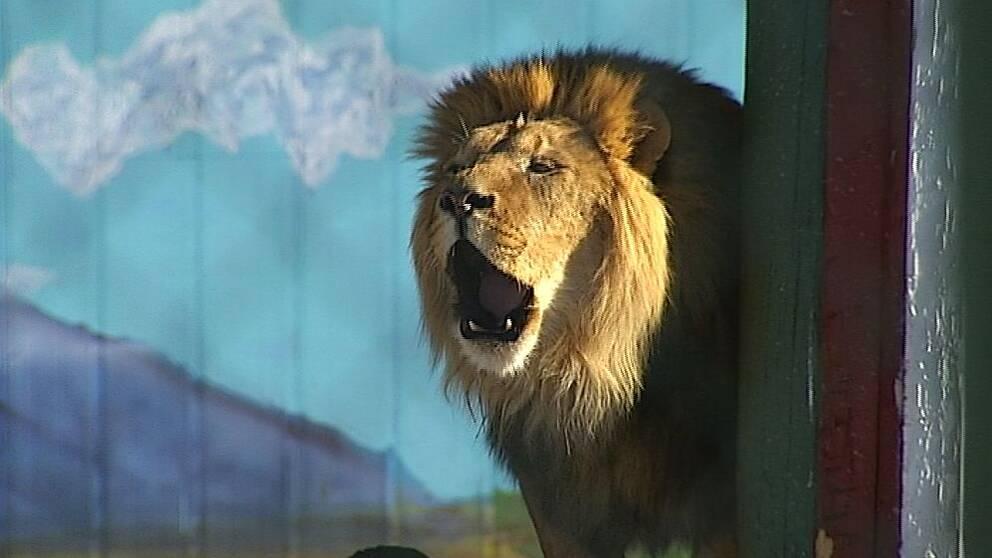 Rytande lejon