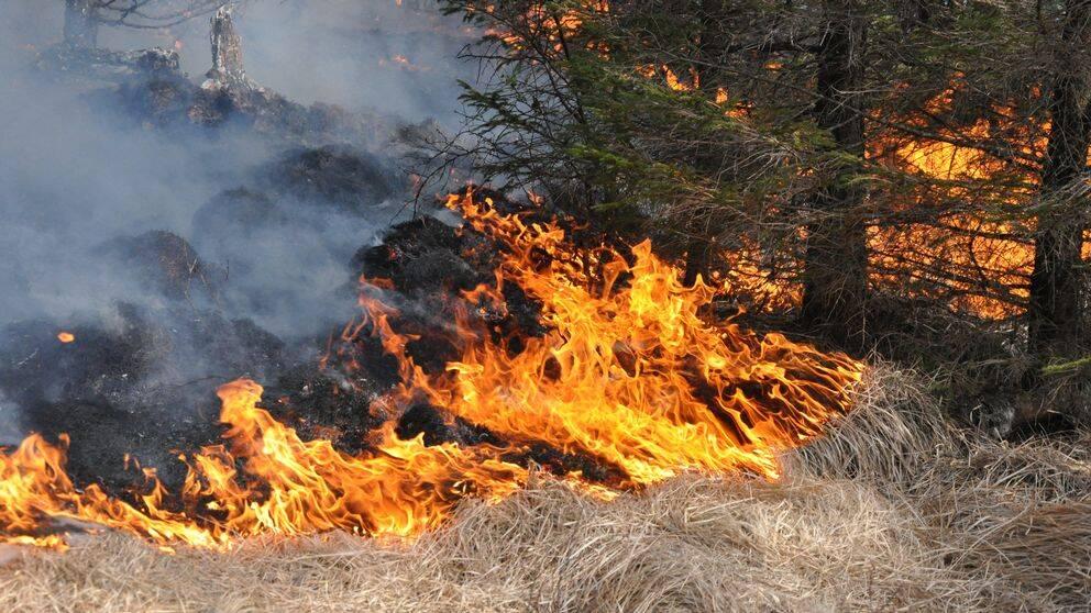 Gräsbrand i ett skogsområde. Flammor slukar gräs.