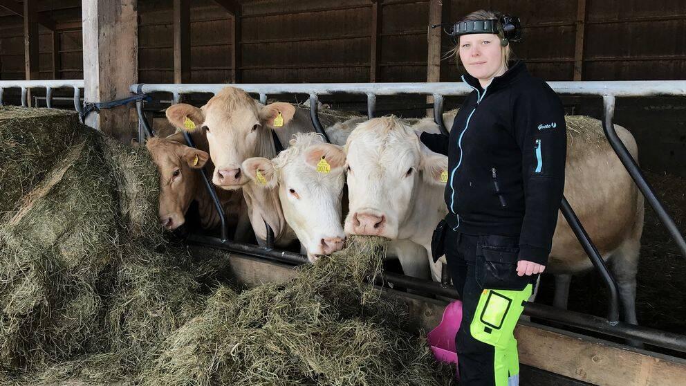 Linda Einarsson, med hörselkåpor på huvudet, står på foderbordet framför fyra unga kvigor som äter ensilage.