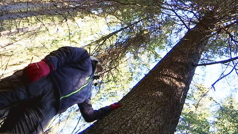 Häng med in i skogen och kolla in jättegranen