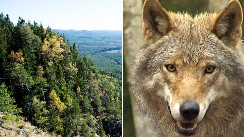 Skog till vänster, varg till höger