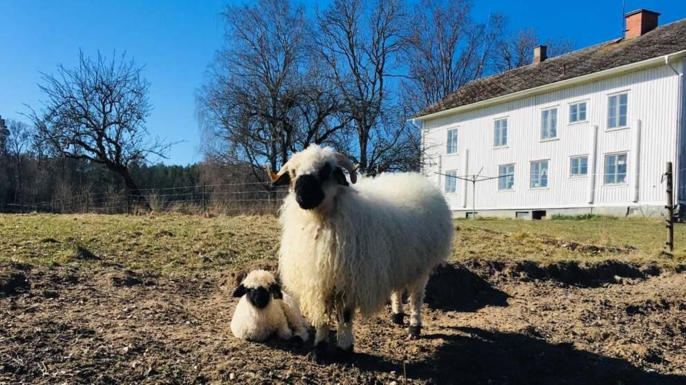 En svartnostacka med sitt lilla lamm.