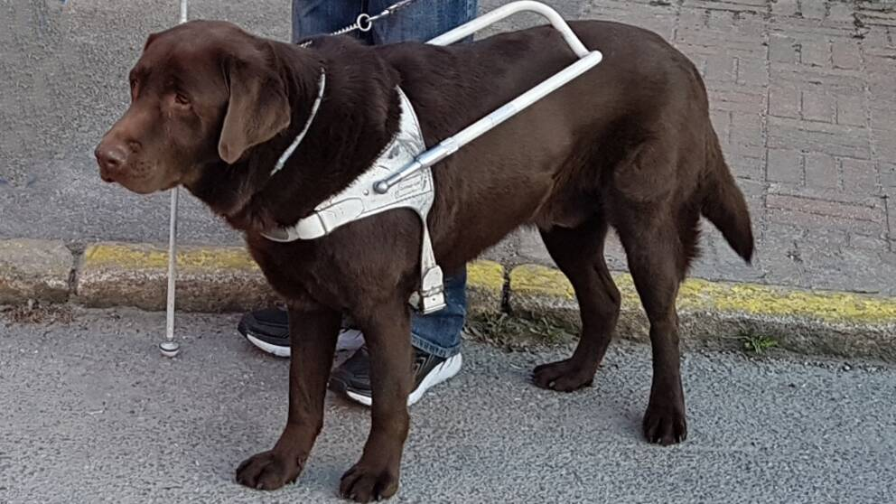 Ledarhunden Bruno står med ledarföraren.