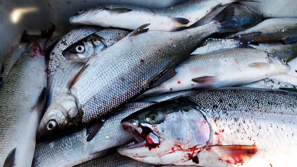 Fiskar, sik och regnbågslax ligger i en hög.