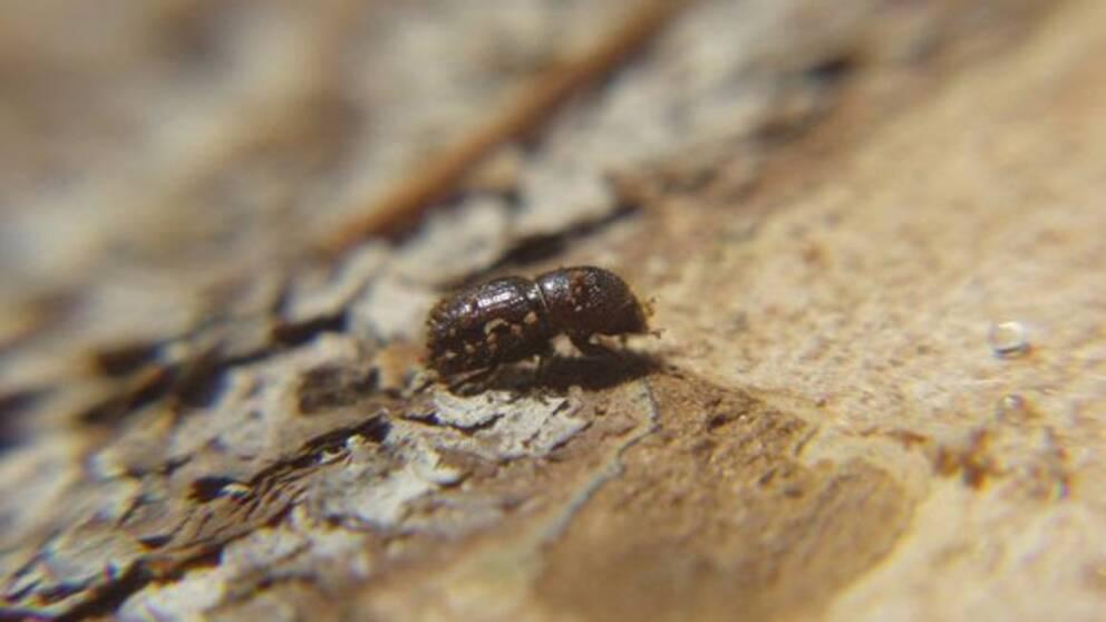 En granbarkborre – en liten brun skalbagge med trubbigt huvud och ljusbruna ränder på sidorna.