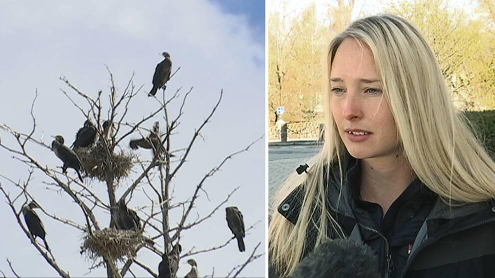 några fåglar i ett kalt träd, en ung kvinna som intervjuas