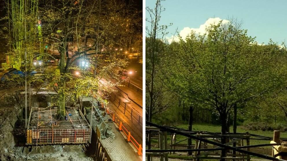 Till vänster lyfts ett träd med kran, till höger flera träd rikligt med gröna blad