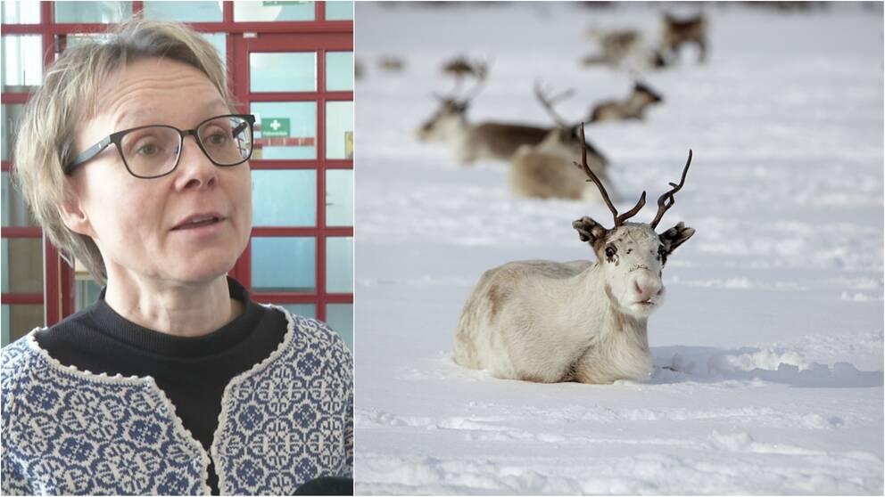 Marita Stinnerbom ordförande i Sametingets rennäringsnämnd, och en bild på en ren som ligger på snön