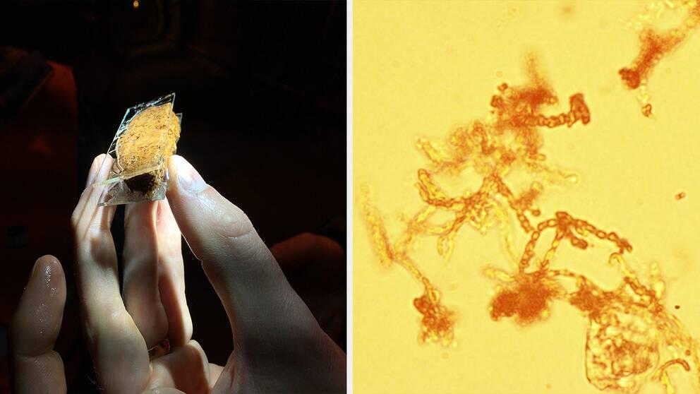 En hand håller i ett provglas med en brun sörja. Intill syns mikroskopbilder av bakterierna.