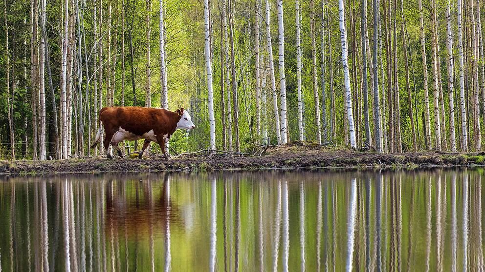 Kossa och björkskog speglas i en damm. Arbrå Hälsingland.