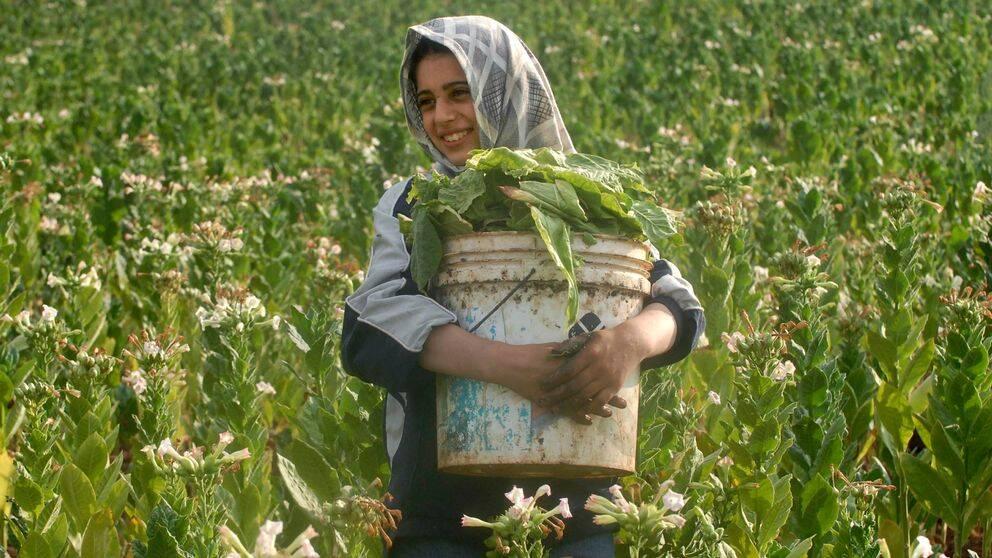 En ung kvinna på en tobaksodling i Libanon 2009.