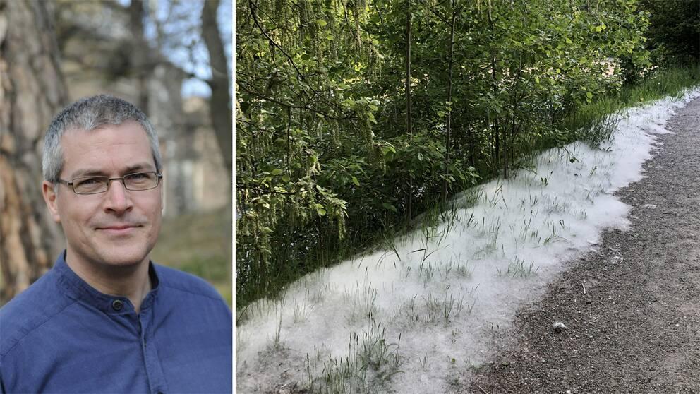 Didrik Vanhoenacker, biolog på Naturhistoriska riksmuseet och frön från asp på marken.